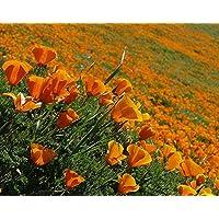 Asklepios-seeds® - 500 Semillas de Eschscholzia californica Amapola de California, campanilla, dedal de oro, escholtzia, rasete, raso, fernandos