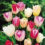 Triumph Tulpen Mischung - 50 blumenzwiebeln