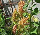 Brilliant Rainbow Quinoa Seeds (Chenopodium quinoa) 50+ Rare Seeds + FREE Bonus 6 Variety Seed Pack - a $29.95 Value! Packed in FROZEN SEED CAPSULES for Growing Seeds Now or Saving Seeds For Years