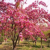 Shopmeeko 20 teile/beutel sakura brunnen weinende kirschbaum zwerg japanische blüten bonsai blume für diy hausgarten pflanze: 04