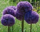 RIESEN ZIERLAUCH (Allium giganteum) - 30 Samen / Pack - winterharte Zierpflanze für den Garten