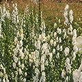 lichtnelke - Weißer Eisenhut (Aconitum napellus ' Gletschereis ' ) von Lichtnelke Pflanzenversand auf Du und dein Garten