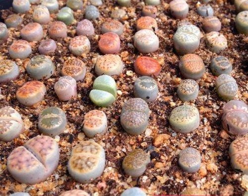 Lithops Tierart Mix 100Samen * Sukkulente Kaktus * Living Steine combsh C71 - Kaktus Mix
