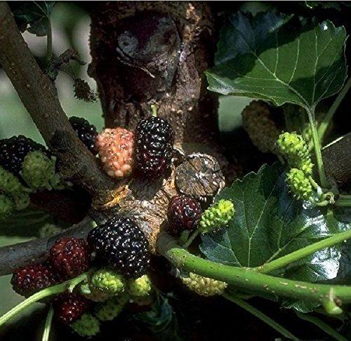 Schwarze Maulbeere. Morus nigra; Strauch. 1 Pflanze - zu dem Artikel bekommen Sie gratis ein Paar Handschuhe für die Gartenarbeit dazu