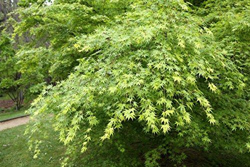 Fächerahorn Acer palmatum 70 Samen