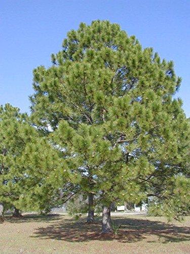 PLAT FIRM GERMINATIONSAMEN: 240 Samen: Loblolly Kiefer, Weih-Kiefer, Baum Samen (Fast, Evergreen)
