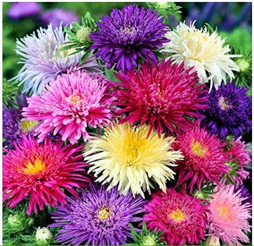 Beautytalk-Garten 100 stück Regenbogen Chrysantheme Selten Mehrjährig winterhart Stauden Gänseblümchensamen Mischung Bonsai Blumensamen Blumenmeer für Balkon/Garten (50 stück)