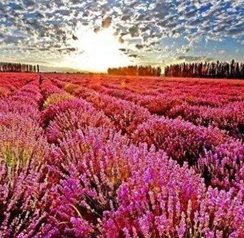 Tomasa Samenhaus - 100 Stück Lavendel Samen, Selten Blumensamen Echter Lavendel Samen Duftend Lavendel Saatgut mehrjährig winterhart Kräuterpflanzen für Garten,Bauernhof
