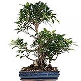 Bonsai - großer Ficus retusa, Birkenfeige 192/54