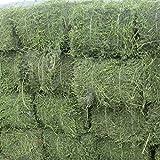 PLAT FIRM Germinazione I semi PLATFIRM-The Seeds Terra @ erba medica Medicago sativa pianta 30 G