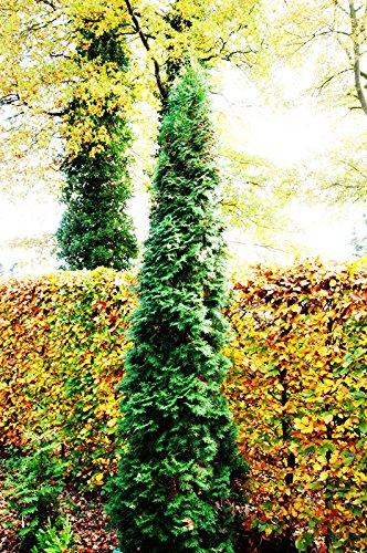 Lebensbaum Säulen-Lebensbaum Thuja occidentalis Columna Containerware 40-60 cm
