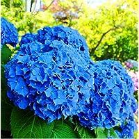 20pcs Semillas de Hortensia, Semillas de Flores Hortensia, Jardín Semillas de Flores Planta de exterior para el Hogar y Jardín Crecimiento Natural para la Plantación de Jardín,Color Azul