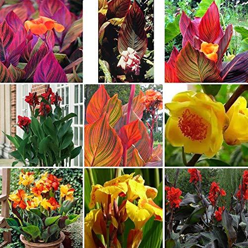 Canna Samen - 50 Samen Indisches Blumenrohr Mehrere Farben Wunderschön Blumen Gartendekoration 9 Farben