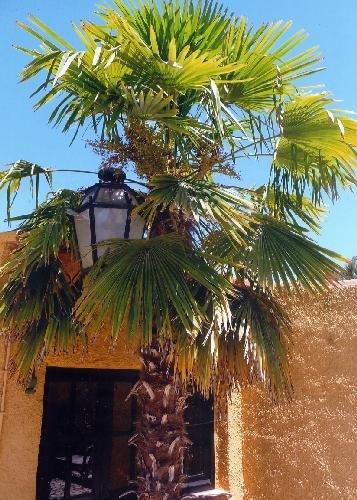 Tropica - palmier chanvre (Chamaerops excelsa syn. Trachycarpus fortunei) - 10 graines