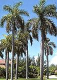 TROPICA - Palma reale cubana (Roystonia regia) - 8 Semi- Palma