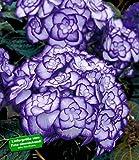 BALDUR-Garten Winterharte Freiland-Hortensie 'Miss Saori blue®' 1 Pflanze Hydrangea