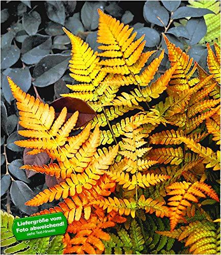 BALDUR-Garten Winterharter Schmuck-Farn \'Golden Brilliant\', 1 Pflanze Dryopteris Gartenfarn mehrjährig