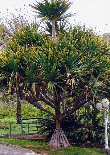 TROPICA - Schraubenbaum (Pandanus furcatus) - 5 Samen