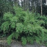 Immergrüner Bambus 'Super Jumbo®' - Fargesia murielae - Immergrüner und Winterharter Bambus von Garten Schlüter - Pflanzen in Top Qualität