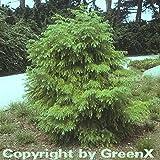 Japanische Sicheltanne Viridis 30-40cm - Cryptomeria japonica