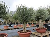 Olivenbaum in Bonsai-Schale, knorrige urige Olive, winterhart, Olea Europaea, einzigartige Pflanzen: 140-170 cm, Stammumfang 80 cm