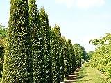 20 Stk. Thuja Lebensbaum Smaragd - Thujahecke Topfware 20 - 40 cm hoch - Thuja occidentalis Smaragd - Garten von Ehren®