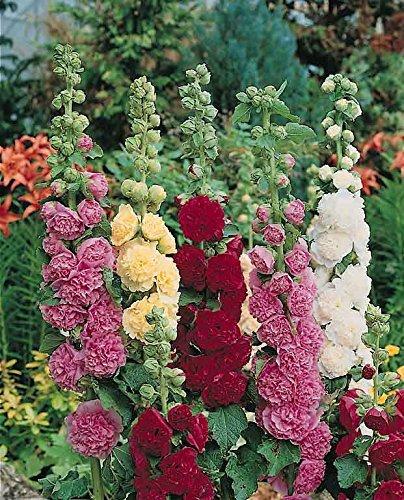 vivaces?: Rose trémière Chaters, double Triumph Mix, 20 graines, Althea Rosea, Coupé Fleur, haute germination, frais de graines, très facile pour se développer