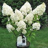 Rispenhortensie Silver Dollar weiß - Hortensie winterhart & mehrjährig - Hydrangea paniculata - 1 Pflanze von Garten Schlüter - Pflanzen in Top Qualität