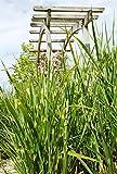 Palmenmann Chinaschilf (Little Zebra) - Miscanthus sinensis Little Zebra®