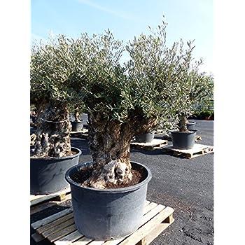 xxl vitis vinifera 100 110 cm knorrige weinrebe weinstock weintraube obstbaum obst traube. Black Bedroom Furniture Sets. Home Design Ideas