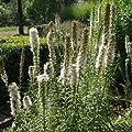 Prachtscharte (Liatris spicata FLORISTAN WHITE) von Lichtnelke Pflanzenversand bei Du und dein Garten