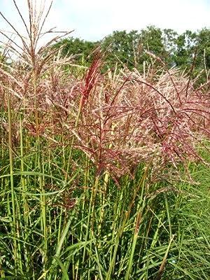 Chinagras Ferner Osten Miscanthus sinensis Ferner Osten Solitär im 5 Liter Pflanzcontainer von Plantenwelt Wiesmoor - Du und dein Garten