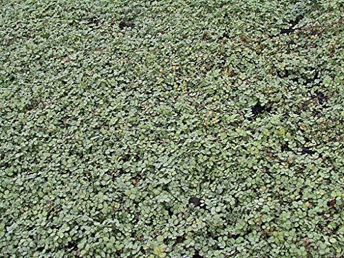 Acaena buchananii - 3 Pflanzen im 0,5 lt. Vierecktopf