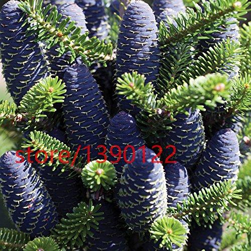 50pcs / lot Sapin de Corée, Abies graines de fleurs graines Koreana bonsaï, graines d'arbres, de plantes pour la maison et le jardin