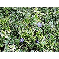 Vinca minor Argenteo-Variegata - Lesser Periwnkle-Plant in 9 cm Pot