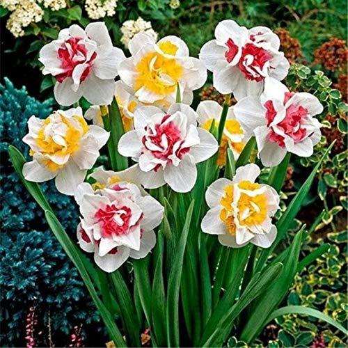 GEOPONICS SEEDS: 100 Stück Doppelklappe Narcissus (nicht Birnen) Bonsai Narcissus tazetta Bonsai Blume Innen-Blumen Topfpflanzen: 11