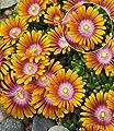 BALDUR-Garten Bodendecker Delosperma 'Fire Spinner®' Eisblumen, 3 Pflanzen von Baldur-Garten auf Du und dein Garten