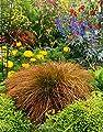 Carex testacea 'Praerie Fire' 1 Liter (Ziergras/Gräser/Stauden) Segge von Stauden Gänge auf Du und dein Garten