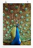 EAU ZONE Home Bild - Tierbilder – Bunter Pfau- Poster Fotodruck in höchster Qualität