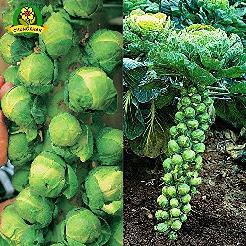 Europe Sous bio Choux de Bruxelles Graines de légumes 100pcs Mini Chou Long Island Heirloom Graines de légumes jardin