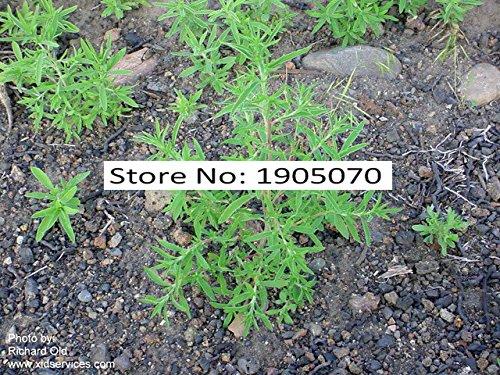 Famille Poaceae Miscanthus sinensis Graines 5000pcs, chinois Graines Argent Herbe Jardiner, herbacée Eulalia herbe Graines