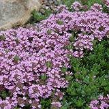 3000 Samen Purple Thymian, Sandthymian -Thymus serpyllum, idealer Bodendecker