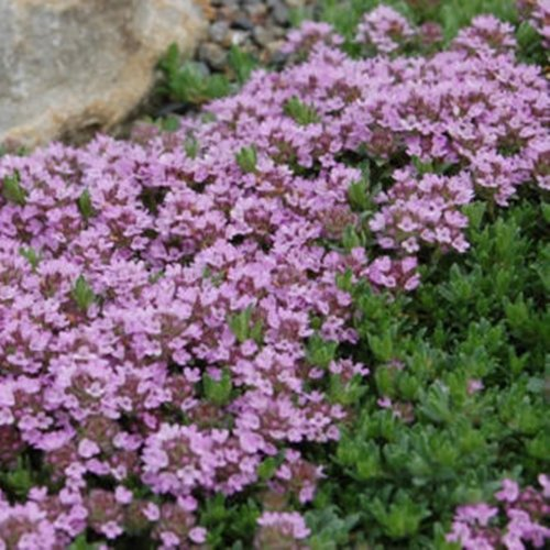 4500 Samen Purple Thymian, Sandthymian –Thymus serpyllum, idealer Bodendecker