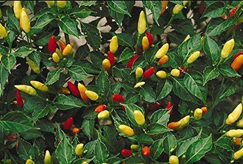 liveseeds-hot-tabasco-chili-pepper-15-semillas