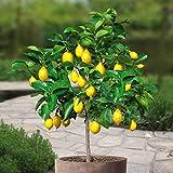 Lemon tree Standard - 1 tree