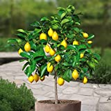 Lemon tree Standard - 1 tree