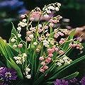 Maiglöckchen Kombination rosa und weiß - 10 pflanzen von Meingartenshop bei Du und dein Garten