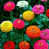 Floral treasure Zinnia Mixed Flower Seeds for Home, Kitchen & Balcony Garden