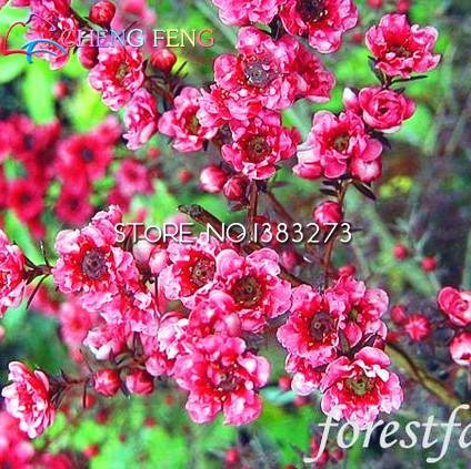 30pcs / bag rare semi di Leptospermum