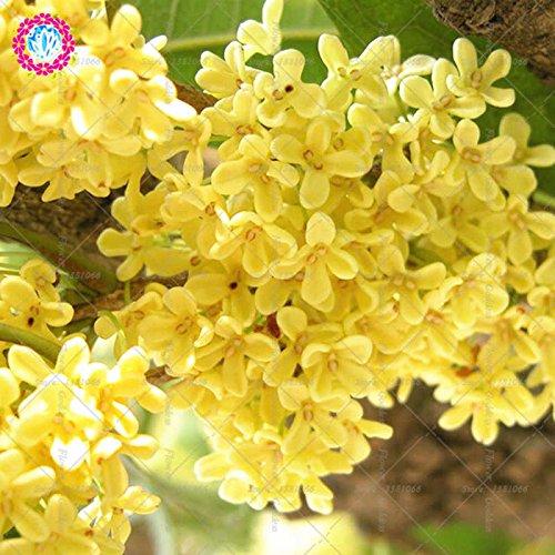 10pcs osmanthus flower bonsai semi gardenia facile coltivare fioritura perenne piante per il giardino domestico di balcone cortile 1